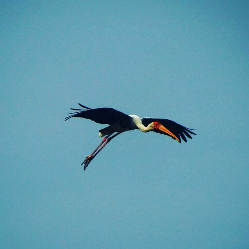 Bird Blue Animal Wildlife Animals In The Wild Flying Full Length One Animal Clear Sky No People Outdoors Sky Day Spread Wings Minimialistic Minimalism Minimal_perfection Minimimal