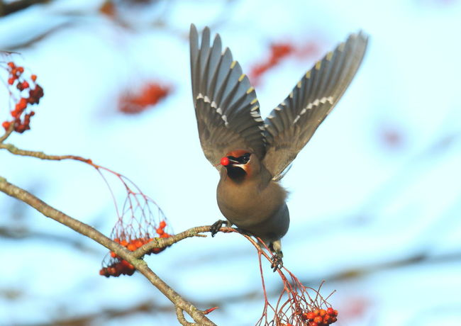 Bird Photography Birds Of EyeEm  Birds_collection Birdwatching Birdwatcher Waxwing Waxwings Wilderness Wildlife Wildlife & Nature Wildlife Photography Wildlifephotography