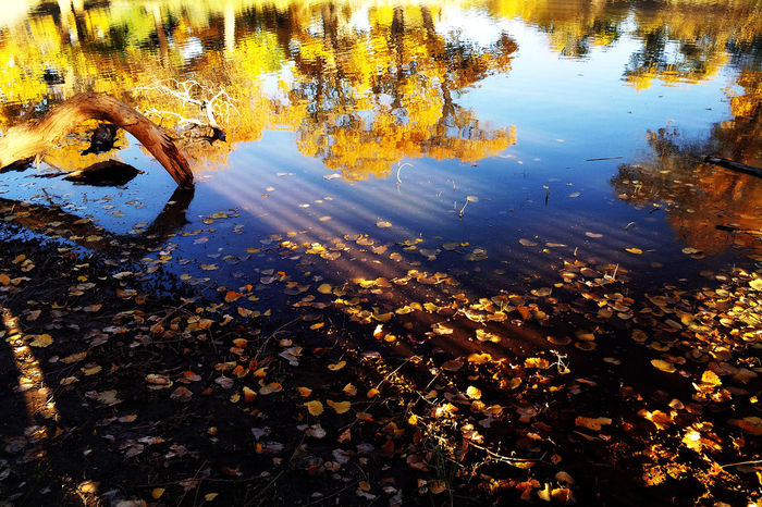 Populus diversifolia in the sunset Autumn Lake Outdoors Populus Diversifolia Forest Reflection Scenics Water