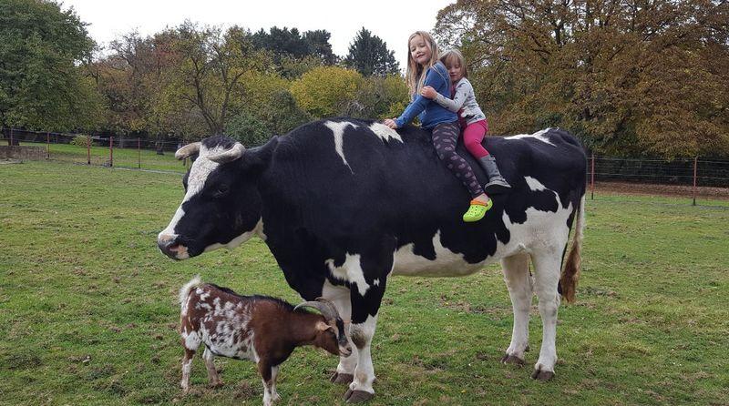 Animal Love Animal Family Animal Photography Animal Animal Themes Cow Cows🐮 Domestic Animals Domestic Cows Outdoor Animals