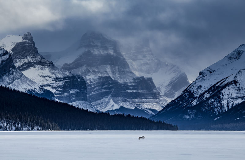 Sometimes you just have to stop, catch your breath, and mumble wow. Standing on a set of snowshoes in the middle of a very frozen Maligne Lake is one of those moments. Jasper National Park, Alberta, Canada. Love Life, Love Photography Alberta Frozen Tranquility Winter Animal Themes Animals In The Wild Canada Cloud - Sky Cold Temperature Dog Forest Jasper National Park Lake Landscape Maligne Lake Mammal Mountain Nature One Animal Outdoors Rockies Rocky Mountains Snow Snowcapped Mountain Wolf Perspectives On Nature