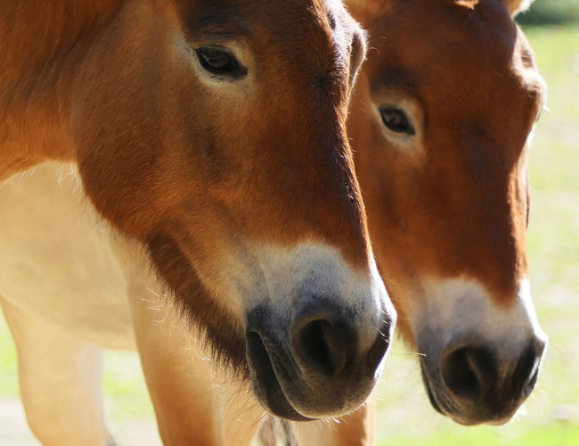 wild horses Wildpferde Wild Horse Race Animal Animal Body Part Animal Eye Animal Head  Animal Mouth Animal Nose Animal Themes Brown Close-up Day Domestic Domestic Animals Focus On Foreground Group Of Animals Herbivorous Mammal No People Portrait Snout Two Animals Vertebrate
