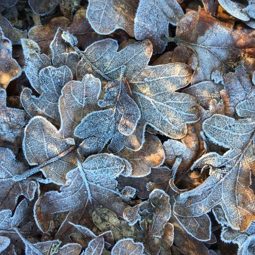 It's Cold Outside Frost Nature Winter Leaves Winter Frost On Leaves Leaves With Frost Leaves Oak Leaves IPhoneography IPS2016Winter Patterns Pattern Pieces