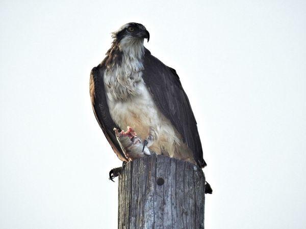 Snack time - Osprey With A Fish Osprey  Bird Bird Photography Quintana Beach, Quintana, TX