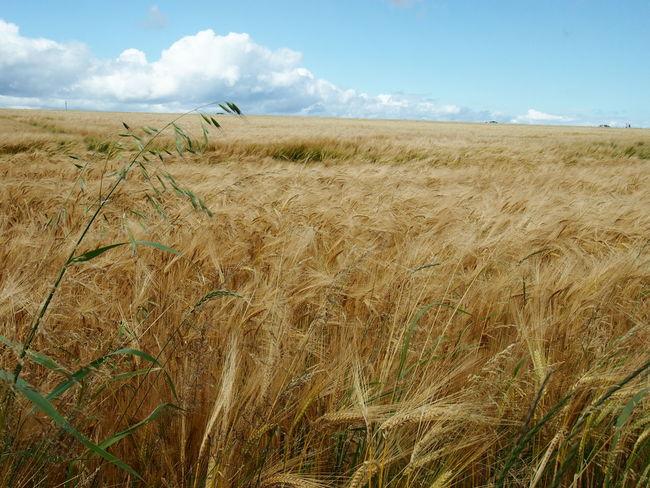 Field Nature Scotland Agriculture Beauty In Nature Cereal Plant Cloud - Sky Crop  Growth No People Oats Outdoors Sky