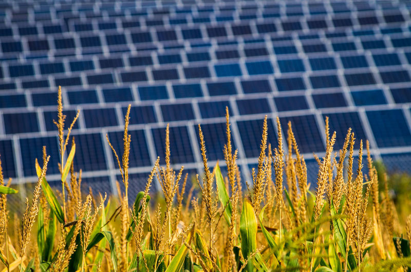 Solar Power Agriculture Alternative Energy Beauty In Nature Cereal Plant Cornfield Crop  Day Environment Environmental Conservation Farm Field Fuel And Power Generation Growth Land Landscape Nature No People Outdoors Plant Renewable Energy Rural Scene Solar Panels