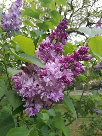 Lilac Lilac Flower Lilacs Lilac Tree Lilac Bush Lilac Color Flower Collection Flowers,Plants & Garden P9 Huawei Flower Springtime Spring Garden Nature Beauty In Nature Purple Botany Outdoors Branch Blossom Freshness Growth Day Petal England Photos Parks And Recreation