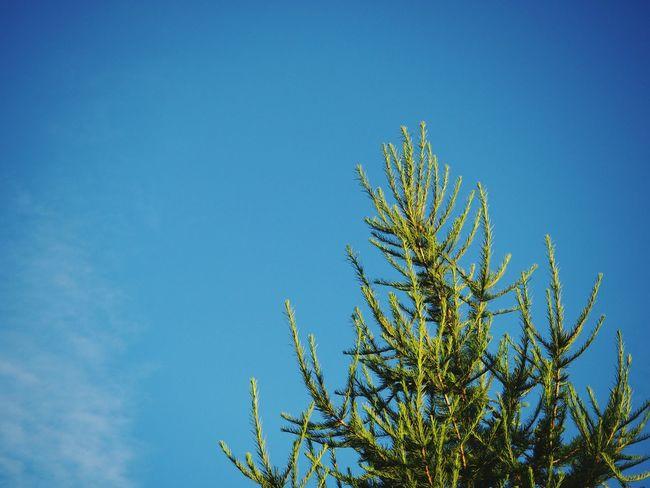 Fir in summer Nature Sky Tree Day Blue The Week On EyeEm