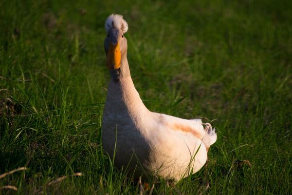 Bird Bird Photography Bird Walking Birds Duck Duck Walk Grass Nature No People Water Foul