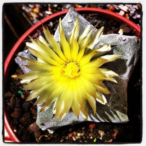 Cactus Astrophitum Flower Yellow nature ink361