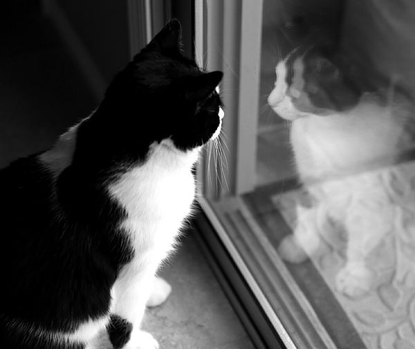 Black And White Cat Reflection Wants Freedom