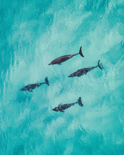 Dolphins Western Australia Travel Destinations High Angle View Nature Day Group Of People Sport Outdoors Water Turquoise Colored Animal Themes Blue