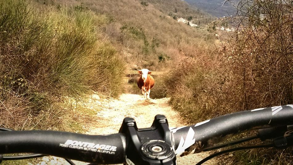Holy cow! Cow MTB Nature Italy