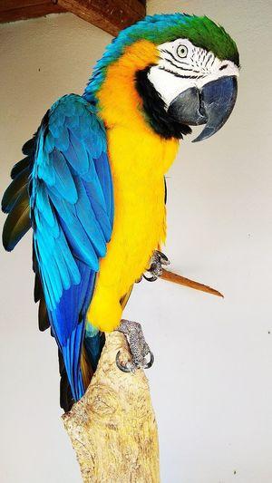 Parrot Parrots