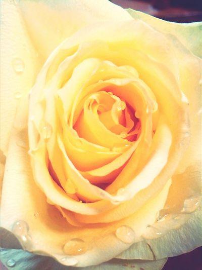 Yellow Rose Closeup Pretty