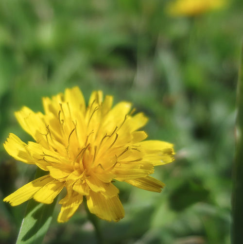 Some kind of mini Dandelion Lakeshore Close-up Flower