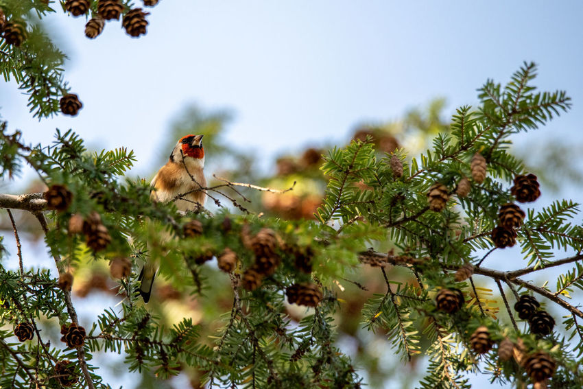 Tree Plant Animal Themes Animal One Animal Nature No People Animal Wildlife Branch Animals In The Wild Selective Focus Low Angle View Vertebrate Bird Sky Perching Birds Goldfinch European Goldfinch Carduelis Carduelis Coniferous Tree Feeding  Autumn Wildlife & Nature Wildlife Photography