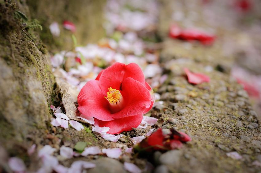 Fallen Petals Death Camellia Plant Flower Flowering Plant Close-up Selective Focus Beauty In Nature Freshness Growth Nature Petal Red No People Vulnerability  Day Land Fragility Field Flower Head Inflorescence Outdoors