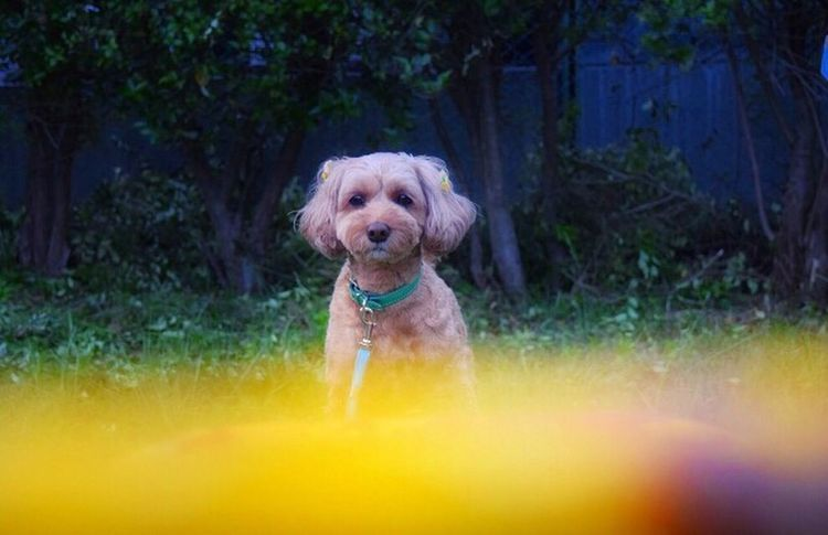 Dog Cute Toypoodle Lovely Puppy Love Americancockerspaniel First Eyeem Photo