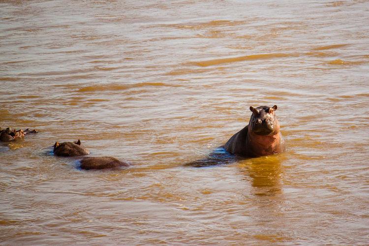 Hippopotamus In Lake