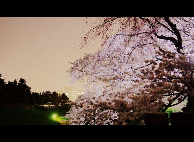 2015/3/31 chidorigafuchi sakura Flower Yozakura Cherry Blossoms Sakura Tokyo Japan