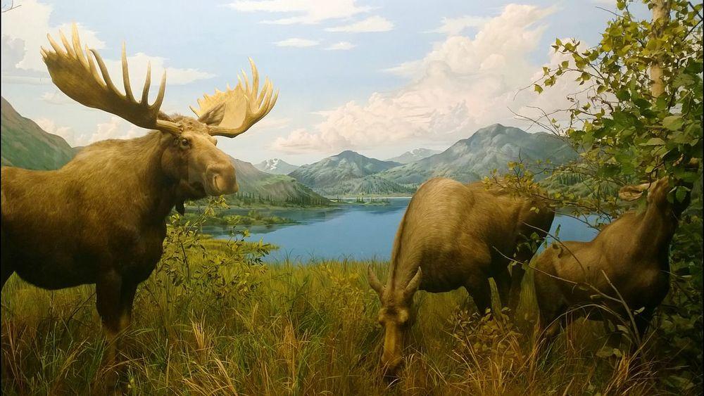 Moose Museum Display Mammals Grazing