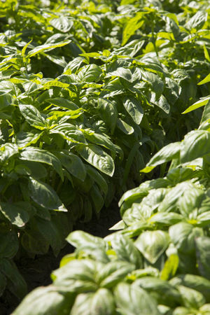 Agriculture Basil, Basilico Food Food And Drink Freshness Green Color Growth Harvest Harvesting Healthy Eating Horticulture Leaf Nature Outdoors Pesto Sauce Plant Raw Food Seedlings, Sunlight Vegetable