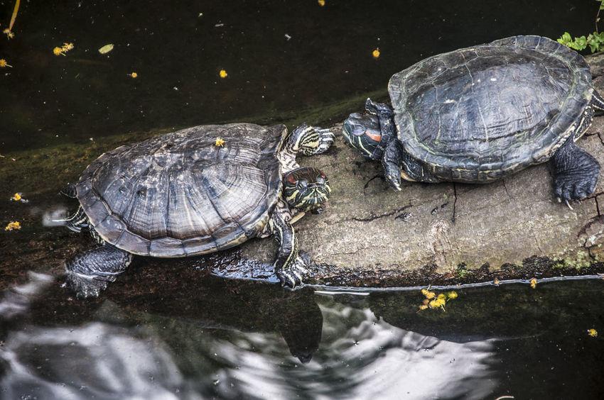 Amphibian Animal Animal Photography Nature Nature Photography No People Outdoors Turtles