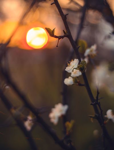 Plant Flower Flowering Plant Beauty In Nature Growth Fragility Tree Freshness Vulnerability  Close-up Branch Blossom Nature Selective Focus Focus On Foreground Springtime Twig No People Outdoors White Color Sun Flower Head Lens Flare Cherry Blossom Spring