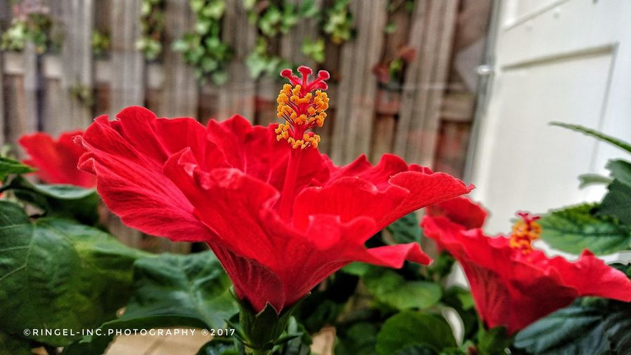 Hibiscus Rosa sinensis. Flower Red XperiaXZ1 Growth Blooming Flower Head Beauty In Nature Close-up Photography Hello World Macro Fooling Around ^_^ Macro Photography Plant