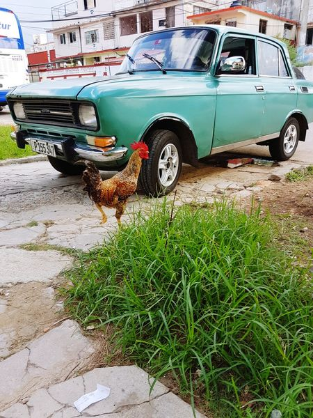 Cuban Style Outdoors Cuban Lifestyle Cuba No People Havana 1950sstyle r Rooster In The City Rooster Rooster Photo Rooster Strutting Rooster, Fowl, Male, EyeEmNewHere
