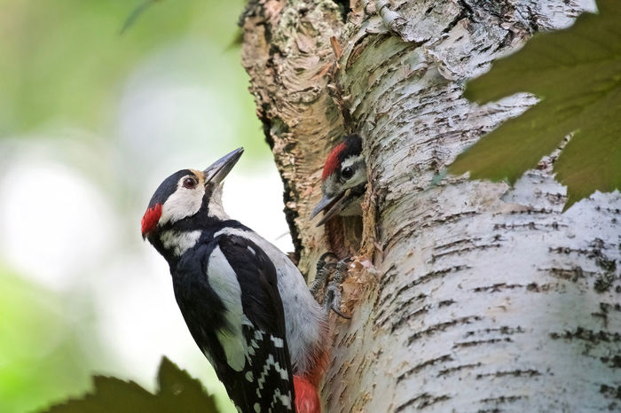 Woodpecker family Day Father Feeding Time Male Woodpacker No People Togetherness Tree Woodpecker Home Woodpecker In Tree