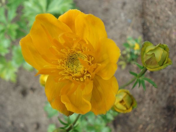 Gartenblume Gelbe Blüten Beauty In Nature Flower Flower Head Gelb Jellow Jellow Flower Nature No People Outdoors Staude Yellow