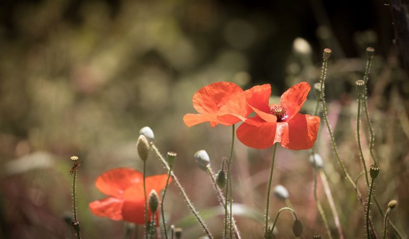 Nature Red Poppy Flower Focus On Foreground Plant Outdoors Beauty In Nature No People Canon Canon5dmarkiv Fragility Peace ArmisticeDay Armistice Day 11th Hour Of The 11th Day Of The 11th Month, 1918 Close-up Autumn Flower Head Nature Canonphotography
