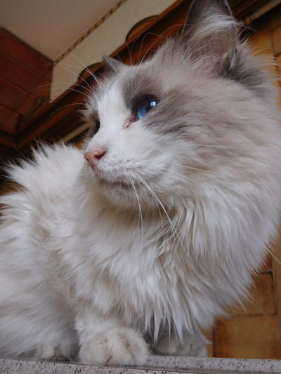 Species Tranquility Animal Themes Blue Cat Close-up Day Domestic Animals Domestic Cat Eyes Feline Grey Home Interior Indoors  Inside Kitchen Mammal Nice No People One Animal Pets Radgoll Whisker White