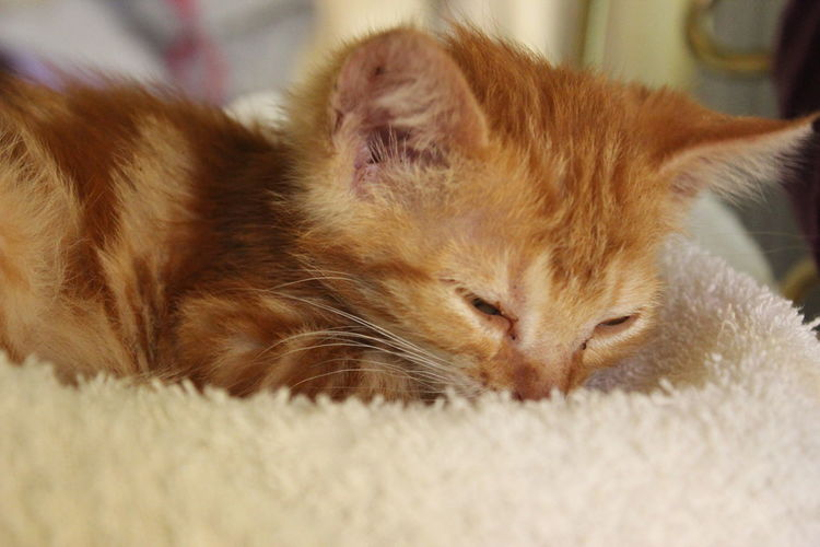 Sleepy Cute Pets Ginger Cat Ginger Cat Lovers Cat Found In Trash Can Showing Imperfection Hope Small Pets Mammal New Owner Kitten Hello World