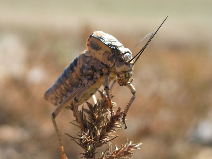 Insect Mongolia Crickets Animals Nature's Diversities