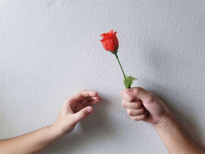 Close-up of hand holding rose against wall