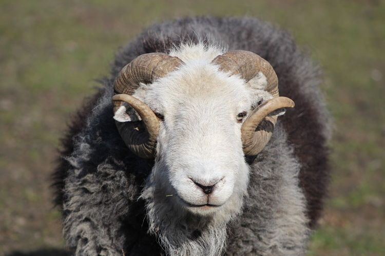 Animal Body Part Animal Head  Animal Themes Animals In The Wild Close-up Day Domestic Animals Field Focus On Foreground Front View Looking At Camera Mammal Nature No People One Animal Outdoors Portrait Sheep Wildlife