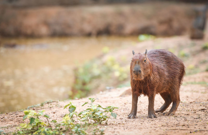 Full length of capybara standing by pond