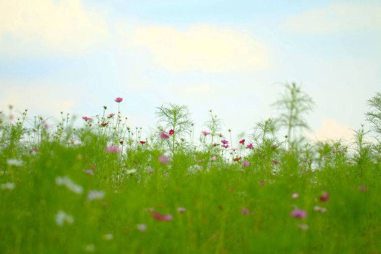 Beauty In Nature Blossom Close-up Cloud Day Field Flower Fragility Freshness Green Color Growth In Bloom Nature Pink Pink Color Plant Poppy Scenics Selective Focus Sky Springtime Stem Tranquility Uncultivated Wildflower
