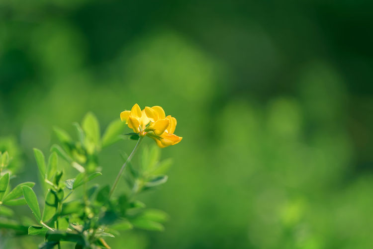Beauty In Nature Birds-foot Trefoil Blossom Flower Head Focus On Foreground Freshness Vibrant Color Yellow