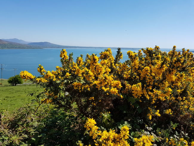 No Filter Carlingford Ireland May Nature Flower Landscape Beauty In Nature Plant Sea No People Scenics Uncultivated Outdoors Growth Yellow Water Blue Sky Day Gorse