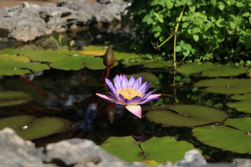 Beauty In Nature Close-up Floating On Water Flower Flower Head Flowering Plant Lotus Water Lily No People Purple