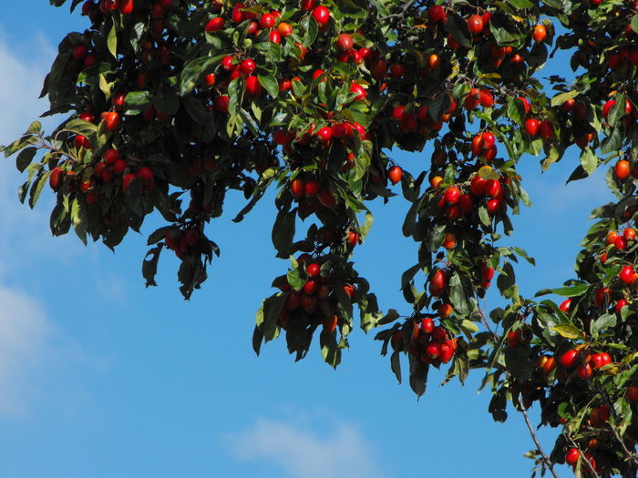 lots of red fruits Fruit Healthy Eating Food Food And Drink Growth Plant Berry Fruit Tree Red Sky Wellbeing Freshness Branch Nature Beauty In Nature Low Angle View Day Fruit Tree Leaf No People Ripe Outdoors Crab Apple Tree Crab Apples Sky And Branches