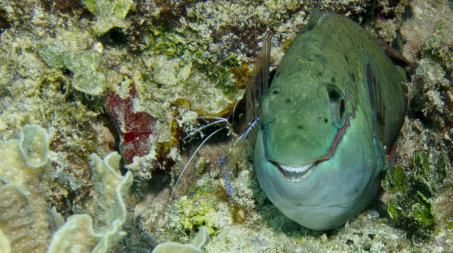 Close-up Parrot Fish Sea Life Smiling Fish Underwater Photography