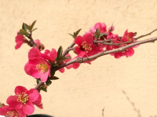 Flower Flower Head Nature Freshness Plant Beauty In Nature Chaenomeles Japonica Chaenomeles Pink Freshness Beauty In Nature Nature Plant Millennial Pink