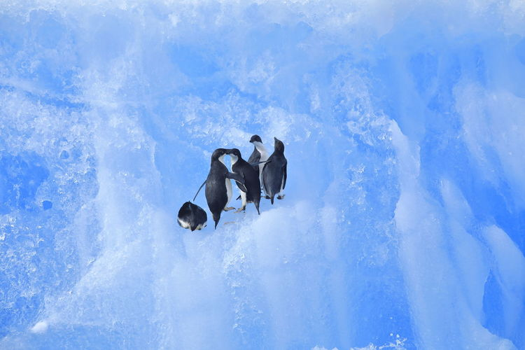 Panoramic view of penguins on snow