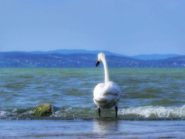 Swan Nature Balaton Fonyód EyeEmNewHere Summer Swan