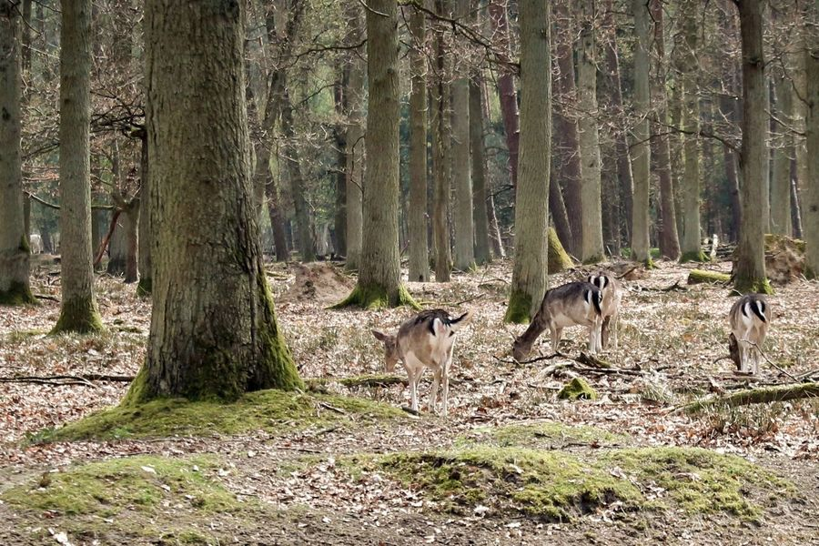 Animal Animal Themes Damwild Forest Nature